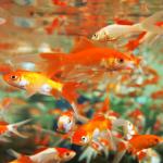 5 Cara Ternak Ikan Komet di Akuarium [Ikan Auratus]